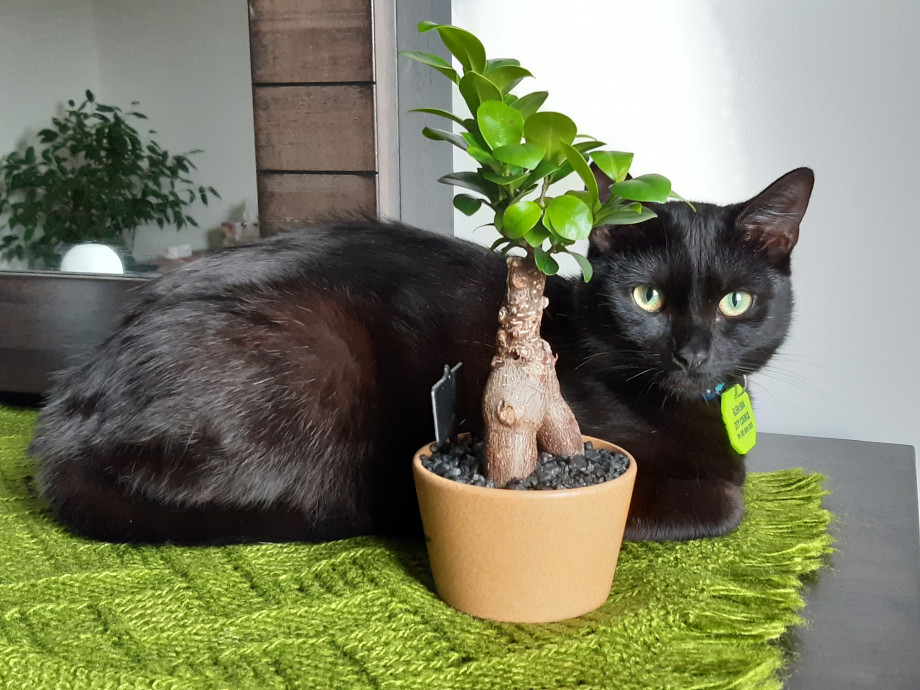 Meshi is black cat with green and yellow eyes. She is curled up on green cloth next to a small plant with green leaves.