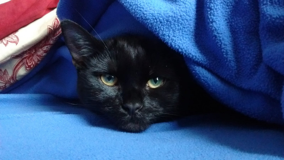 Meshi is a black cat with green/yellow eyes. Her head is visible amongst blue fabric.