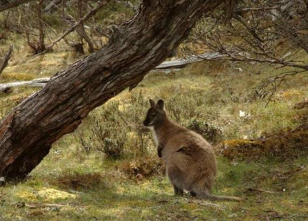 A small and round Bennett's Wallaby standing in a grassy field under a diagonal branch.