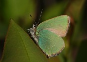 A butterfly with shiny green wings standing on a leaf.