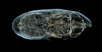 The inside of a fly pupa visualised by Erica Seccombe.