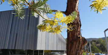 Flowering yellow wattles in front of the NCI building.